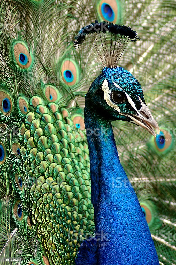 Green and blue peacock close-up stock photo