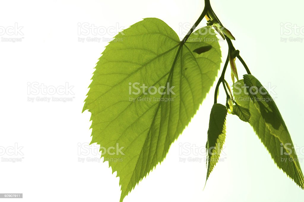 Green and bright lime tree leaves royalty-free stock photo