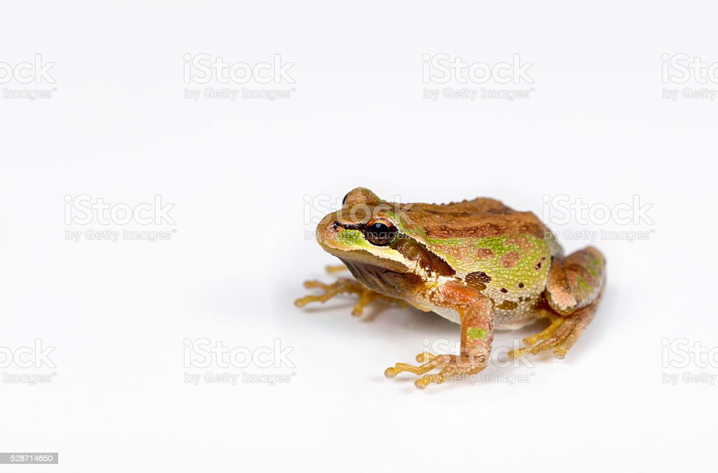Green and brown frog on white background stock photo