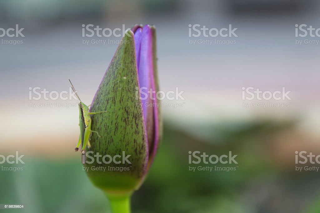 Green and Brown Grasshopper on Lotus Flower stock photo