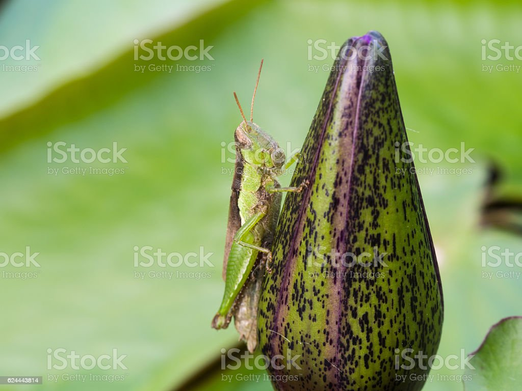 Green and Brown Grasshopper stock photo