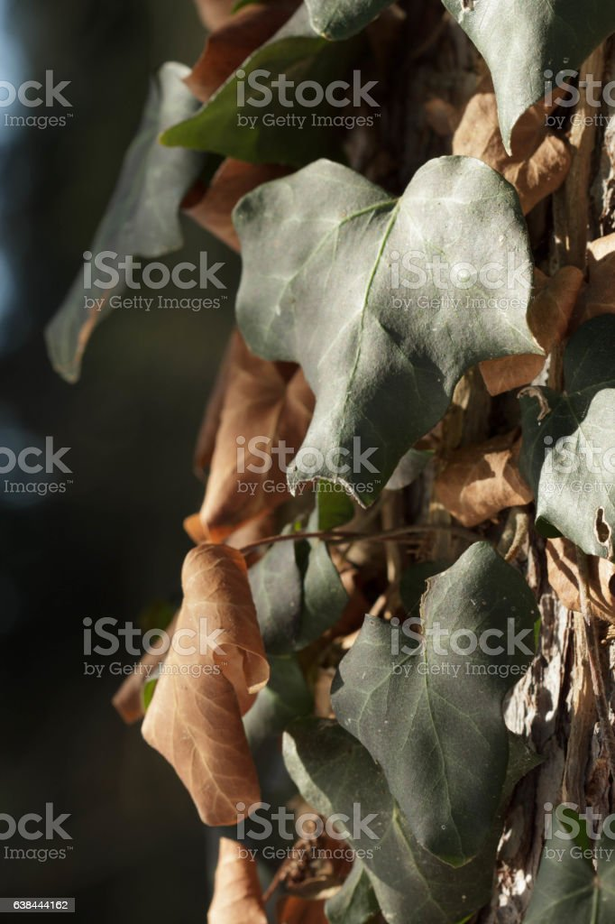 green and brown hedera leaves stock photo