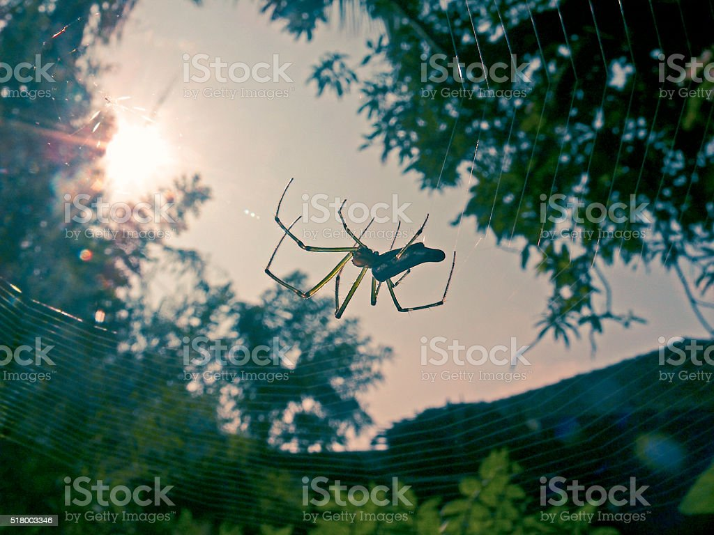 Green and Gold Bum Spider. Nephila species stock photo