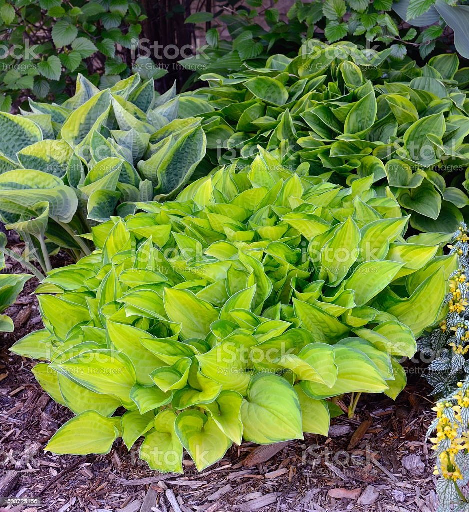 Green and Gold Variegated Hostas stock photo
