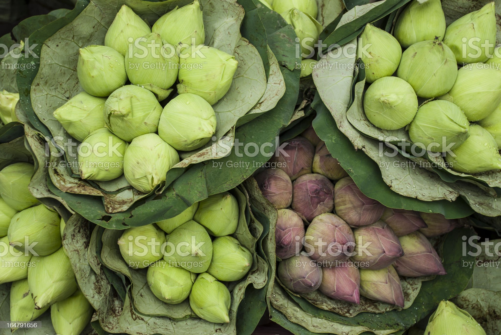Green and Pink Lotus Buds royalty-free stock photo