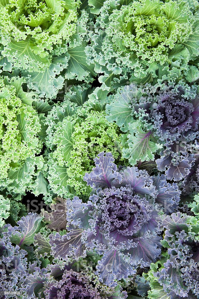 Green and Purple Kale royalty-free stock photo