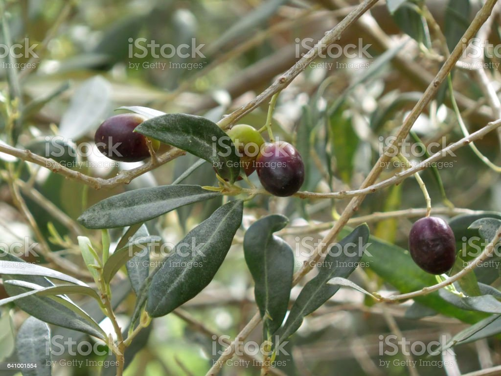 Green and Purple Olives on the Olive Trees stock photo