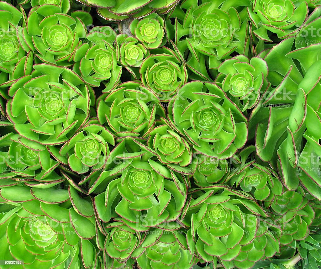 Green and red  Aonium succulent plant royalty-free stock photo