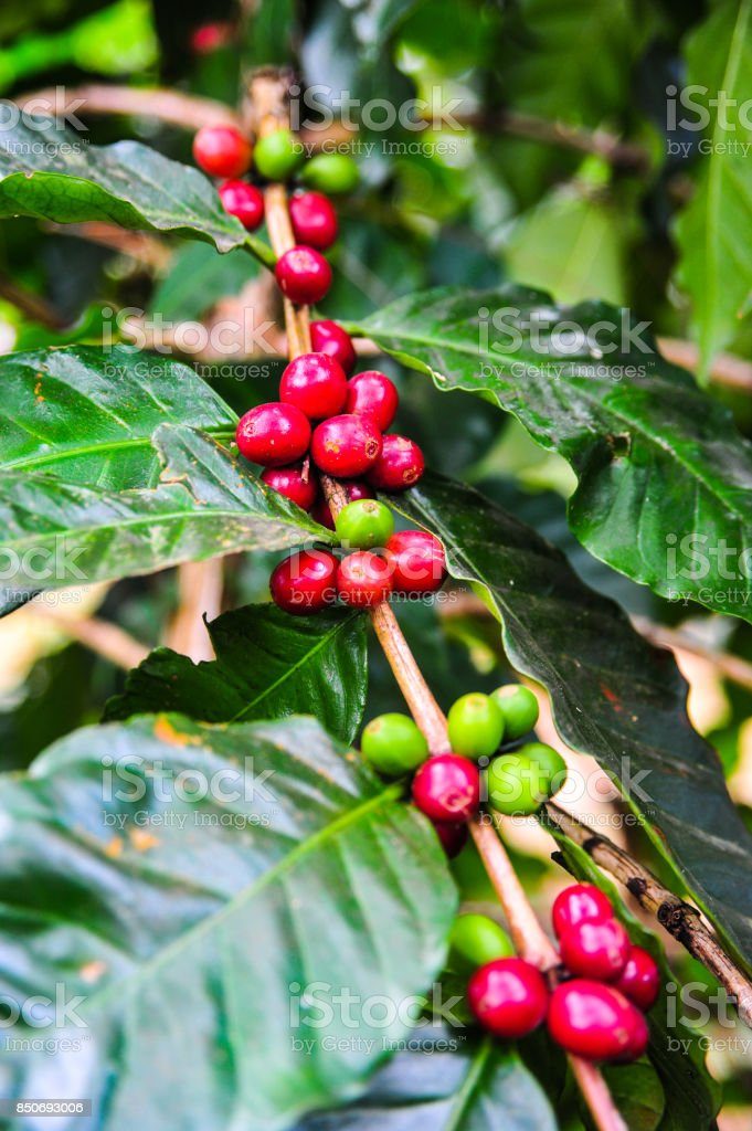 Green and red coffee seeds on tree branch in the garden,Thailand stock photo
