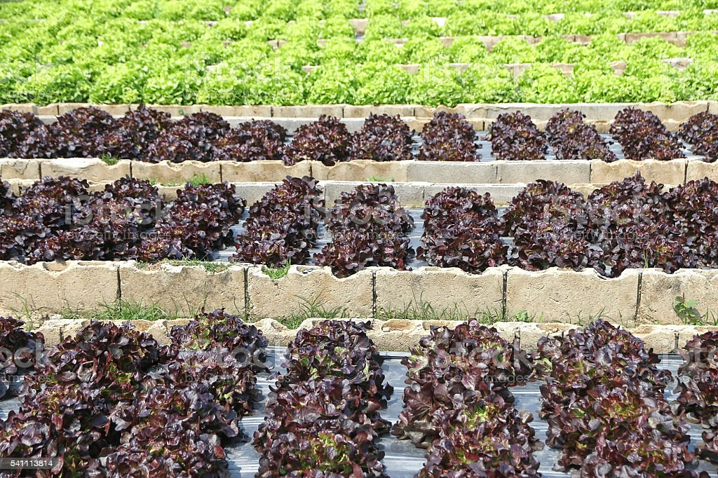 Green and red lettuce stock photo
