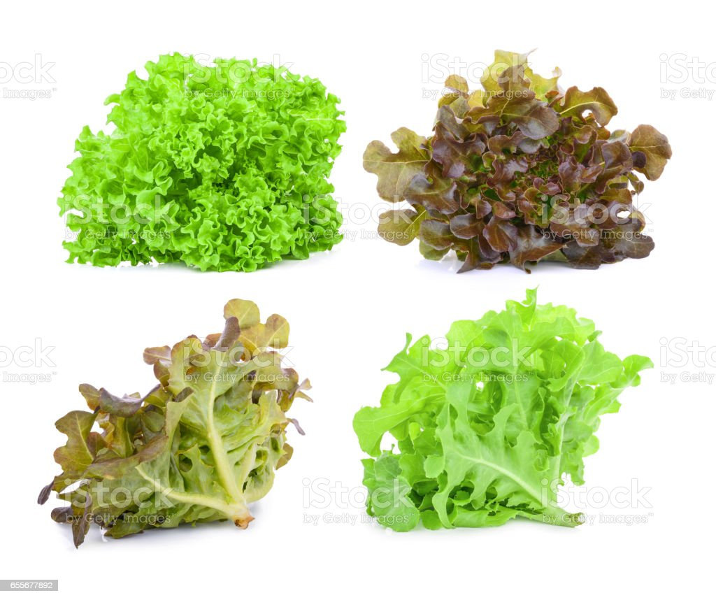 green and red oak lettuce isolated on white background stock photo