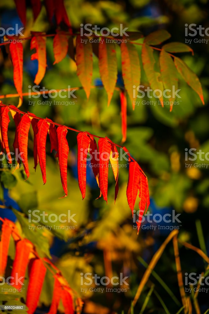 Green and red Sumac leaves in October. stock photo
