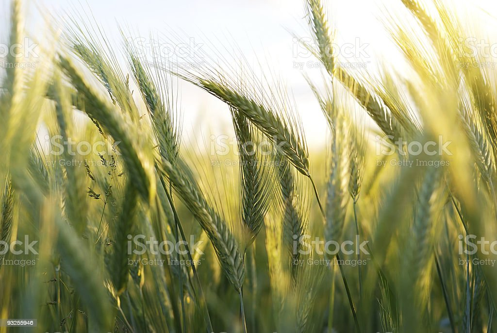 green and ripe golden wheat in the field royalty-free stock photo