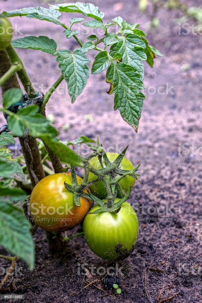 Green and ripe tomatoes on the stem of the bush in the garden at the ground stock photo