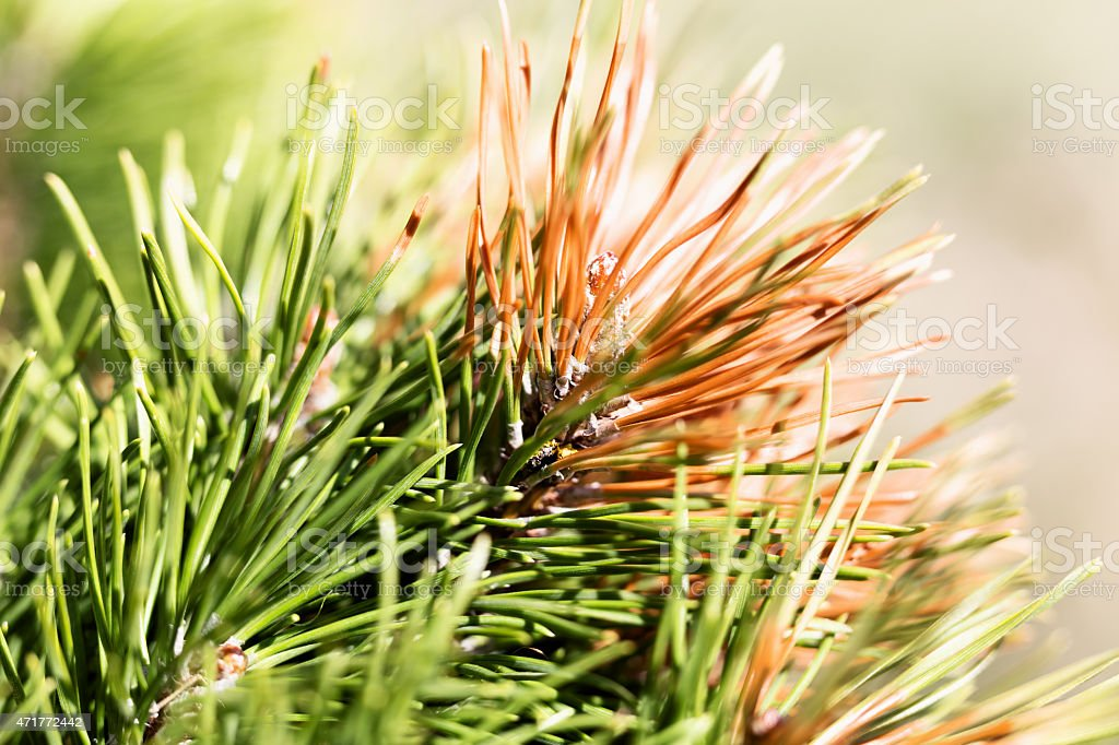 Green and Rust Colored Pine Needles on Diseased Tree stock photo