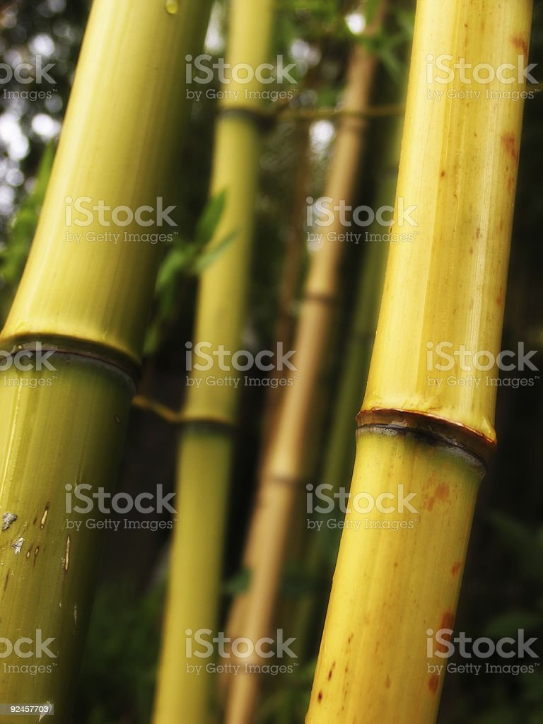 Green and Yellow Bamboo royalty-free stock photo