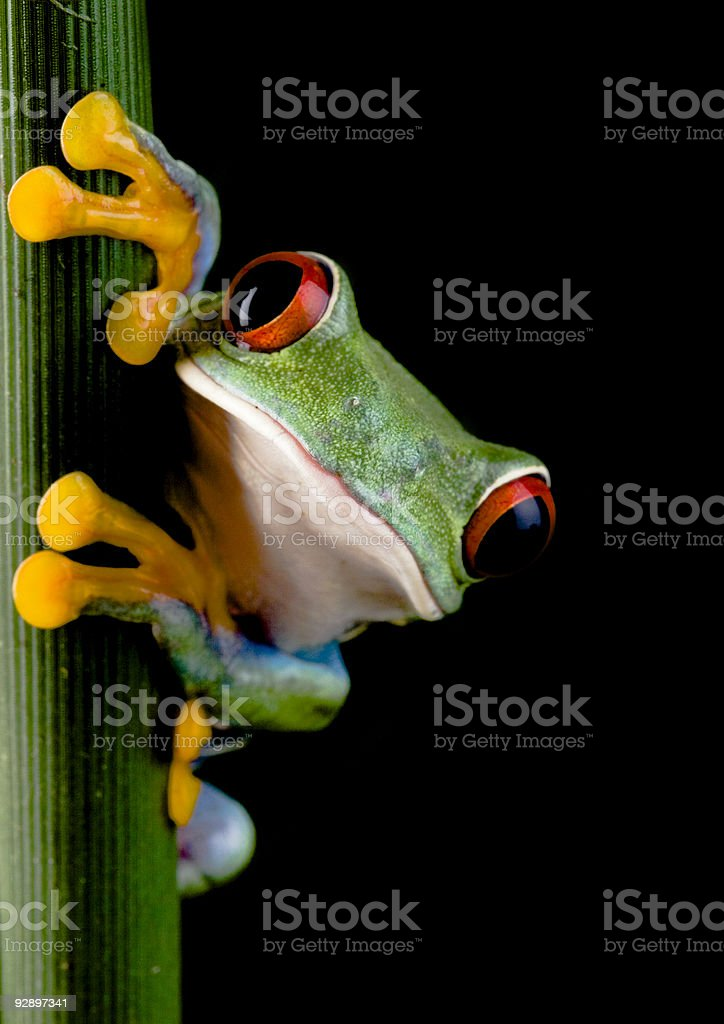 Green and yellow frog with red eyes climbing on celery stalk stock photo