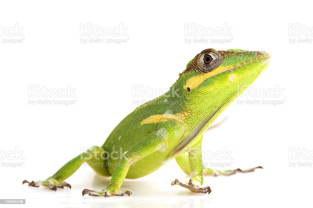 Green and yellow Knight Anole frog posing for photo  royalty-free stock photo