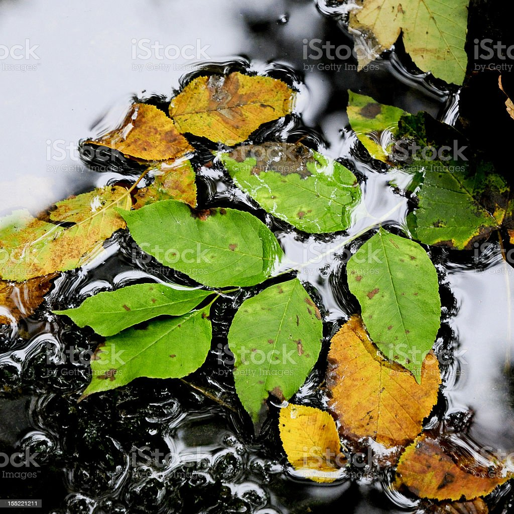 Green and yellow leaves royalty-free stock photo
