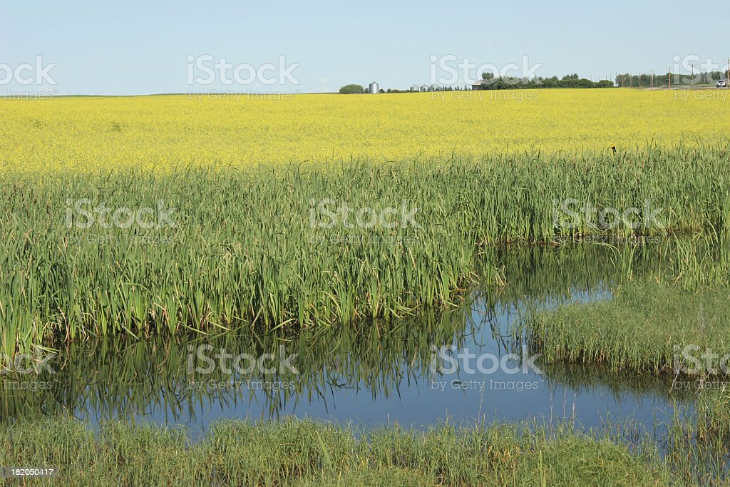 Green And Yellow Marshlands and Canola royalty-free stock photo