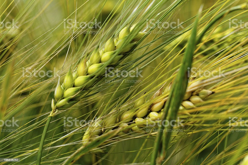 Green and yellow wheat royalty-free stock photo