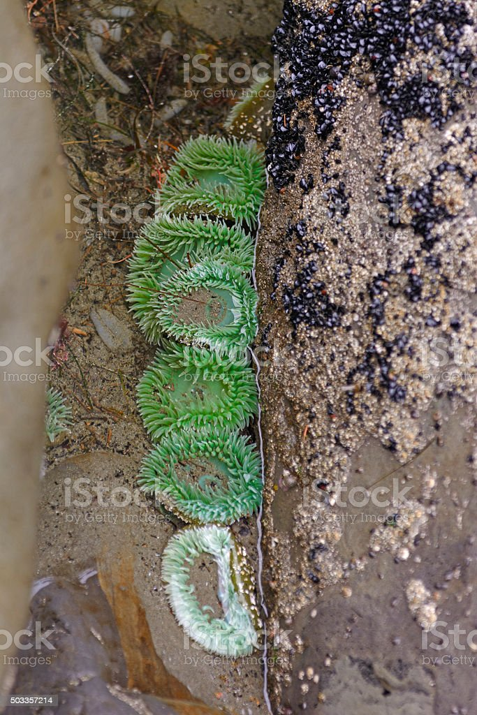 Green Anemone at Low Tide stock photo