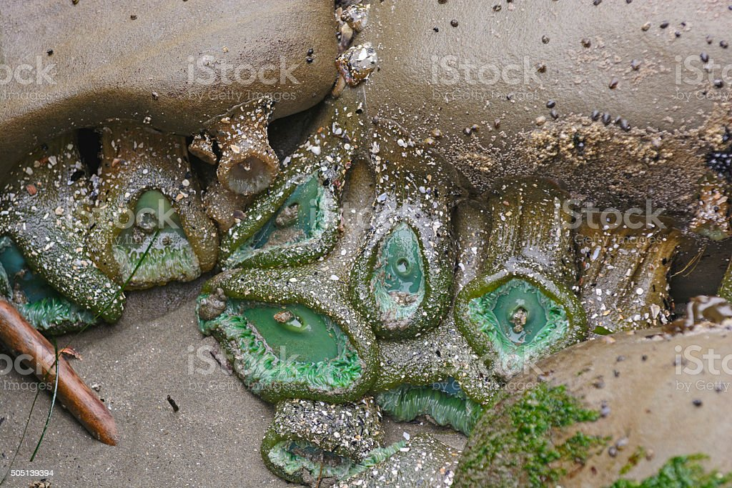 Green Anemones in a Tide Pool stock photo