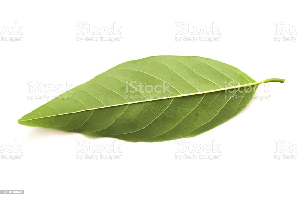 green Annona squamosa leaves on white background stock photo