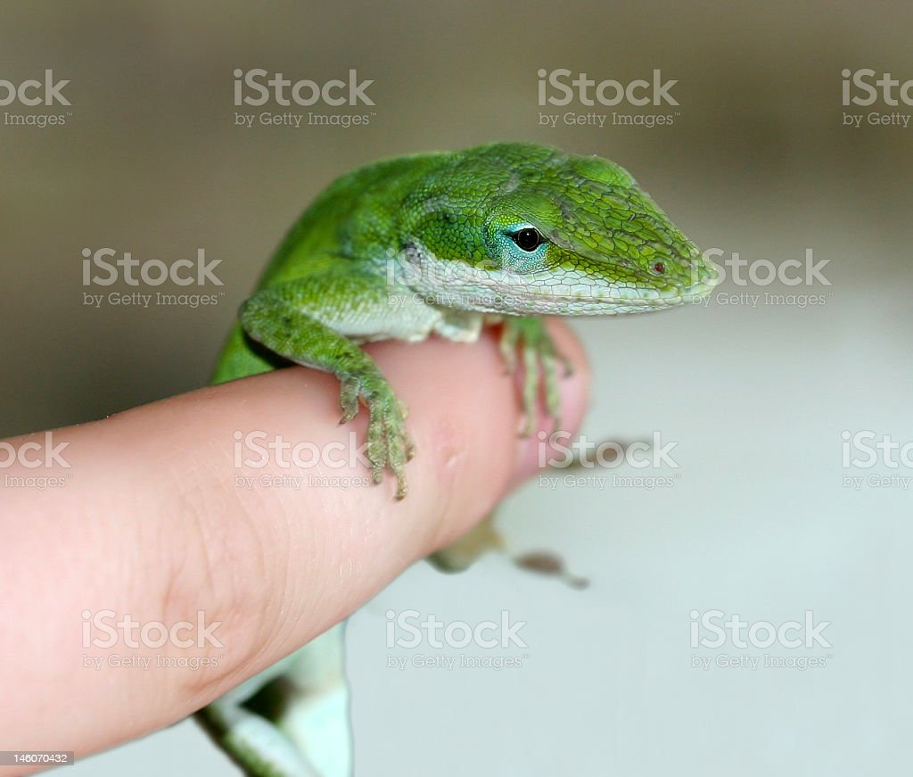Green Anole Hangs On royalty-free stock photo