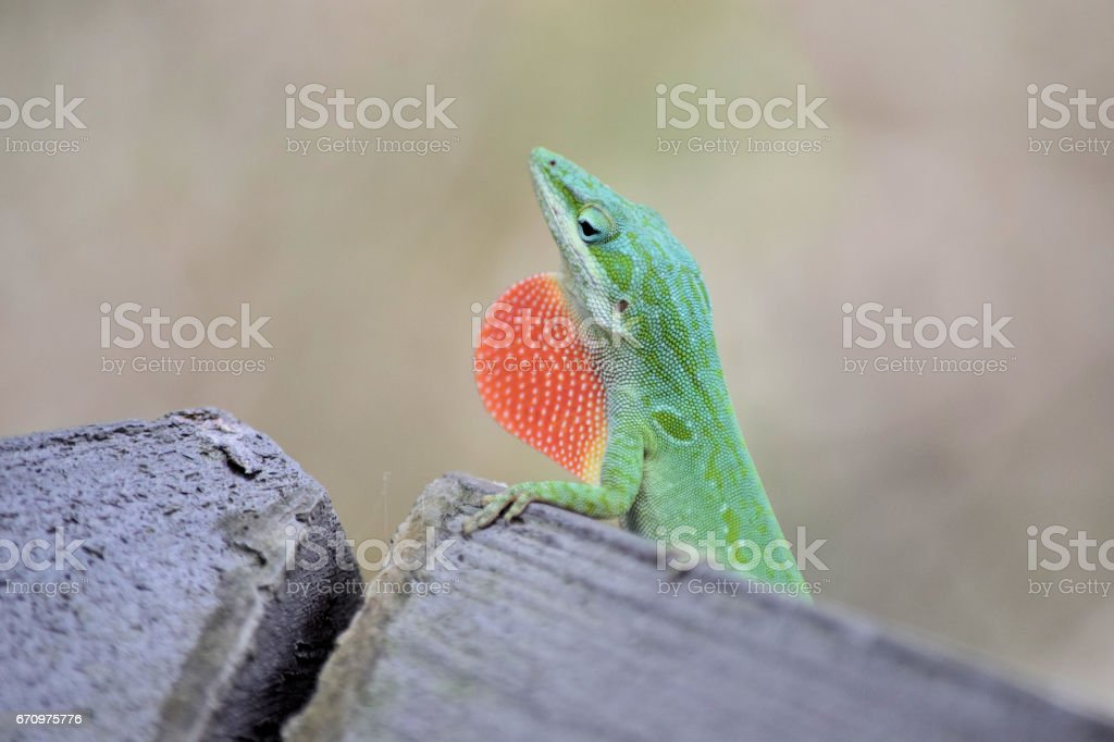 Green Anole  Lizard with red throat. stock photo