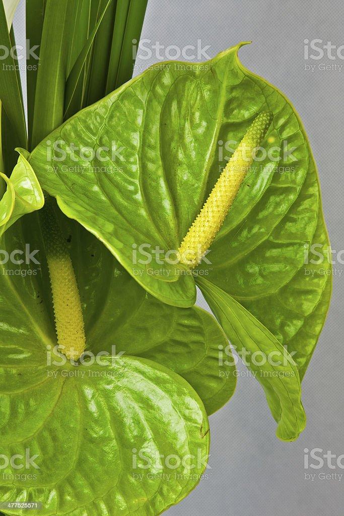 Green anthurium stock photo