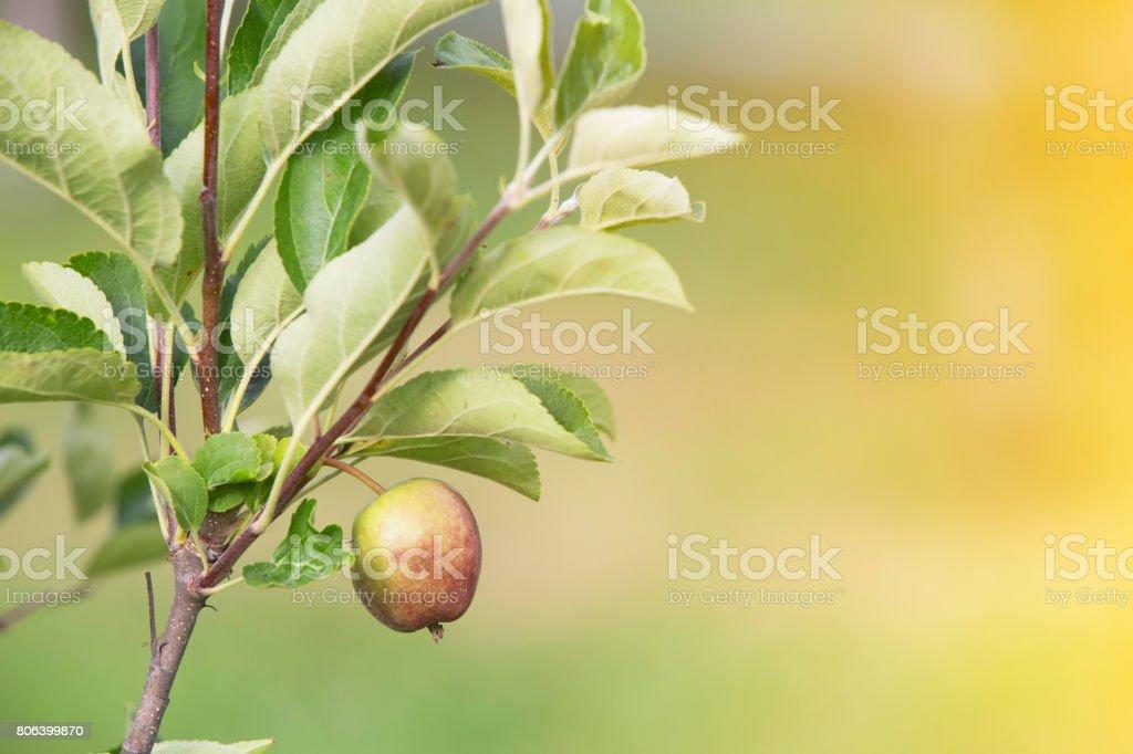 Green apple branch stock photo