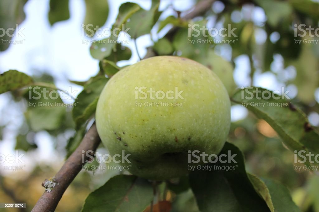 Green apple growing on branch stock photo