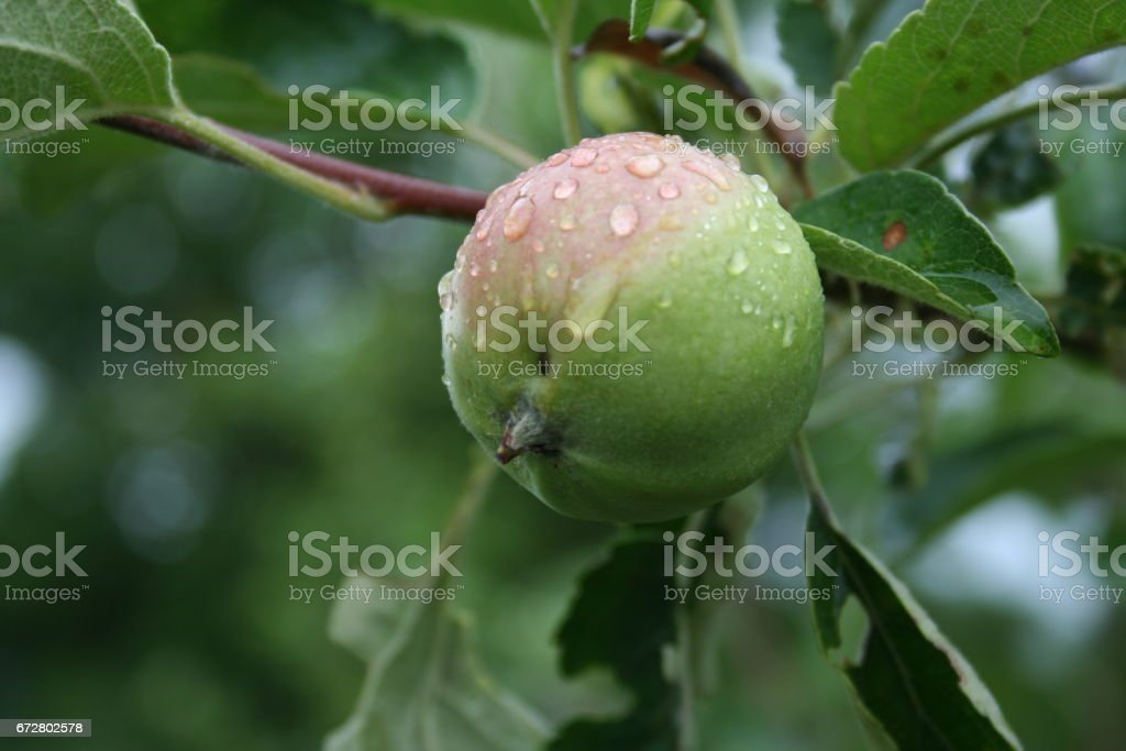 Green Apple on a branch under the rain stock photo