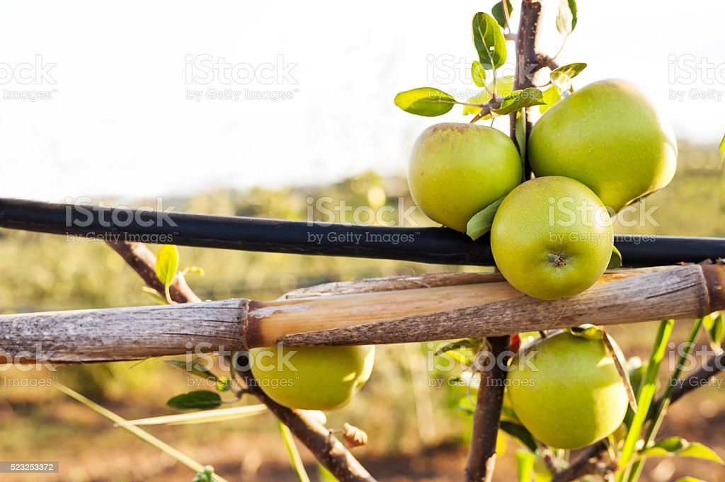 green apple on its shaft with irrigation pipe stock photo
