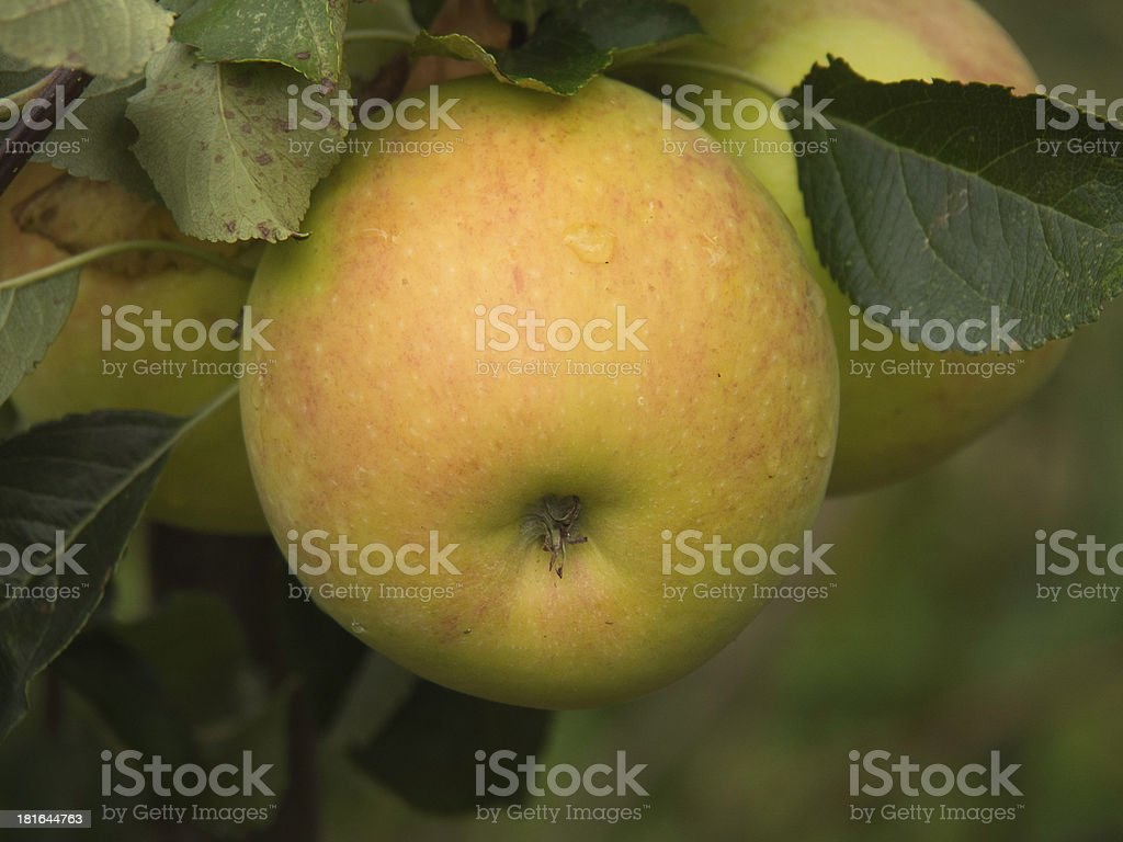 gr?ner apfel royalty-free stock photo