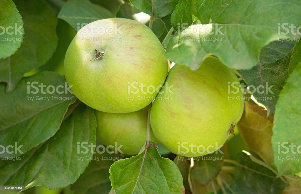 Green apples branch royalty-free stock photo