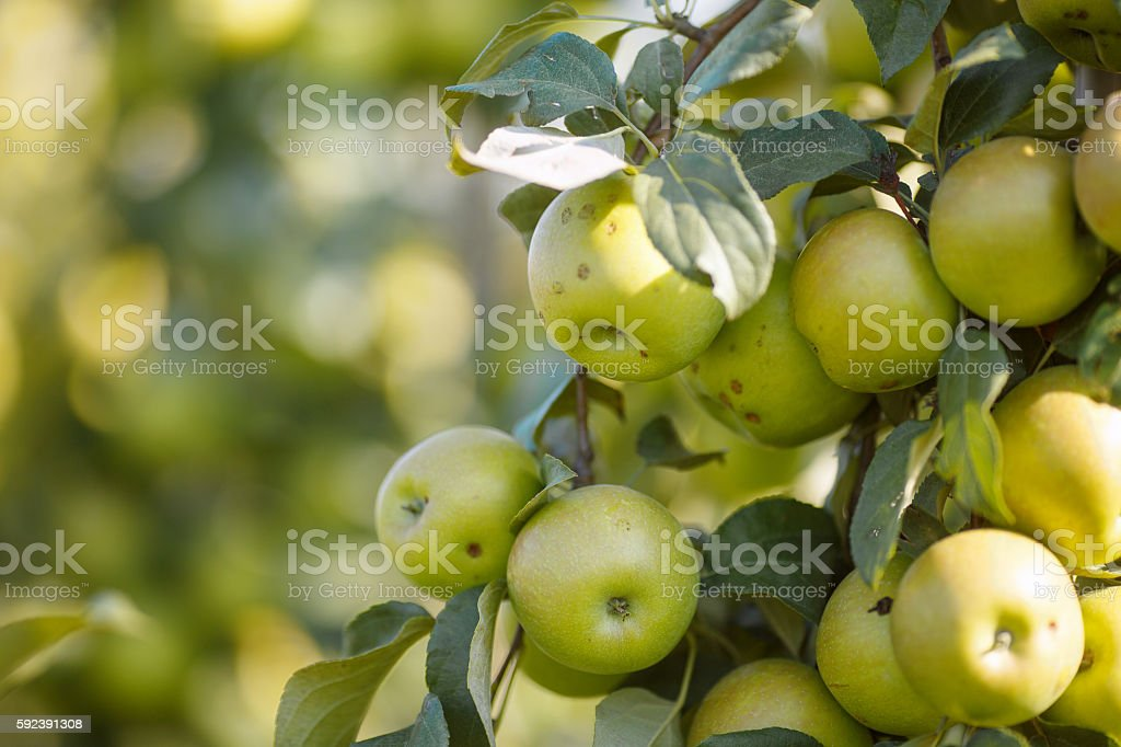 Green apples in a garden royalty-free stock photo