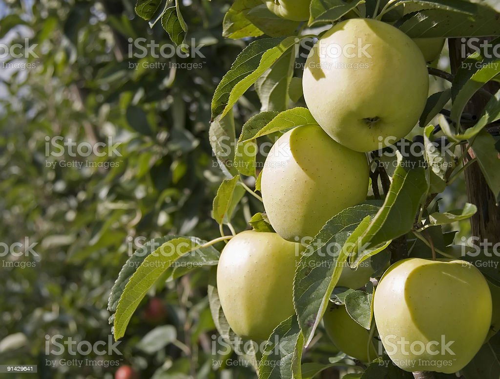 Green apples in orchard royalty-free stock photo