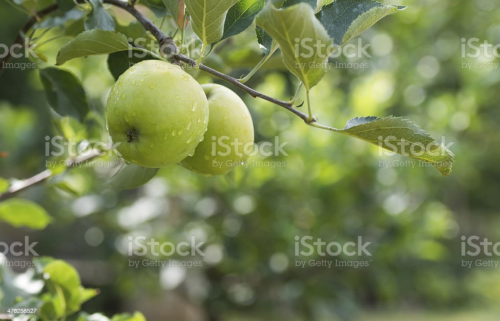 green apples on a branch in an orchard stock photo