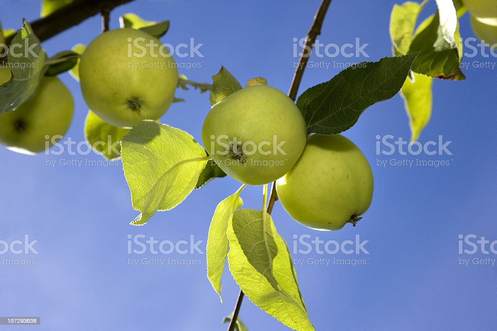 Green apples on a tree royalty-free stock photo