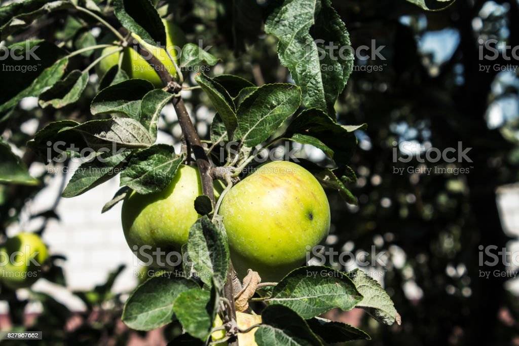 Green apples on the tree summer harvest stock photo