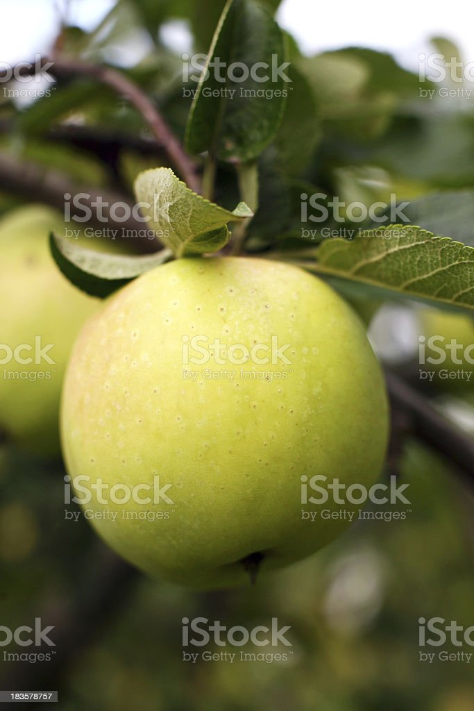 green apples royalty-free stock photo