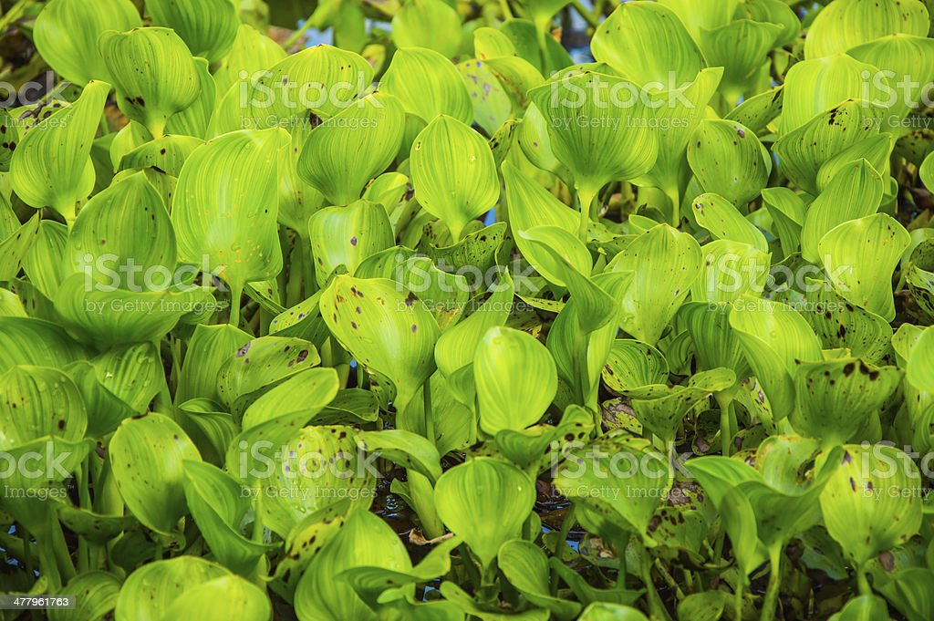 green aquatic plant royalty-free stock photo