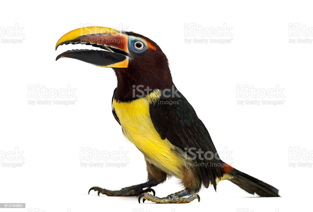 Green aracari opening his beak isolated on white stock photo