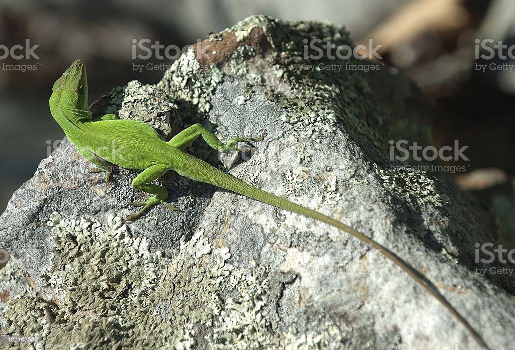 Green Arkansas Lizard royalty-free stock photo
