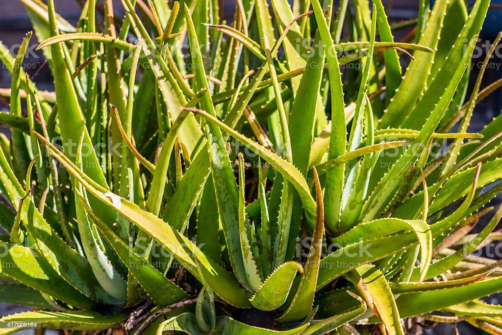 Green as Aloe stock photo