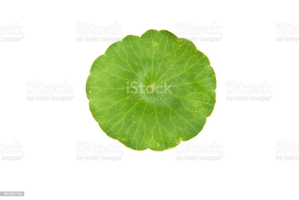 green asiatic pennywort isolated on white background stock photo