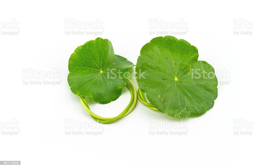 Green Asiatic Pennywort (Centella asiatica ) on white background stock photo