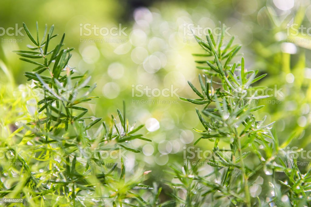 Green asparagus fern background bokeh stock photo